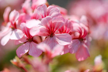 legs spread: Pink bicolor geraniums in the home garden. Pelargonium flowers bouquet, natural background.
