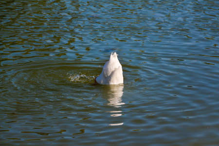 chasing tail: Diving duck. White duck in the lake. Stock Photo