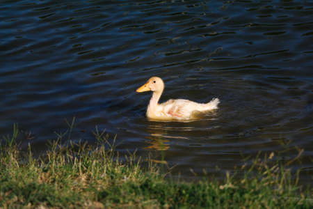 yellow duckling: Young duck. Little yellow duckling swimming on the lake.