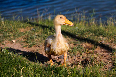 yellow duckling: Young duck. Little yellow duckling on the green grass.
