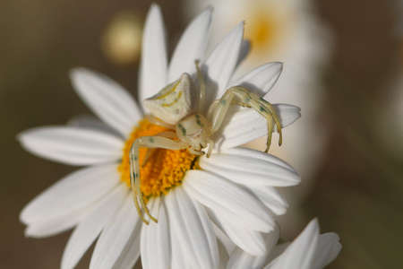 arachnoid: Close up white spider. Thomisus onustus in white daisy flower. Small crab spider. Clearly unaware of the concept of camouflage.