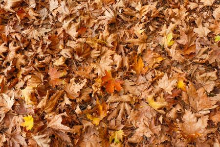 roble arbol: Imagen Backround colorido de las hojas de otoño caidas.
