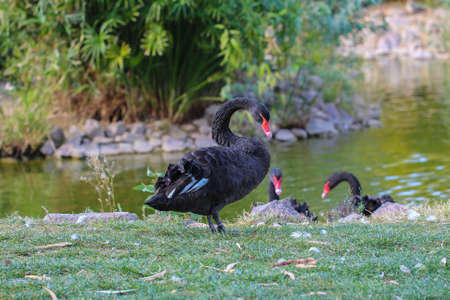 soulful: Black swan. Black swans on a spring lake. Stock Photo