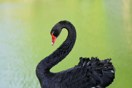 red beak: Close up Portrait of a black swan with red beak on a green blurred background.