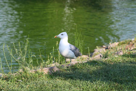 sea gull: Picture of a sea gull standing near water.