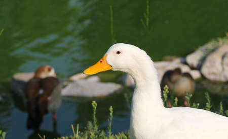 cackle: White duck stands next to a pond or lake.