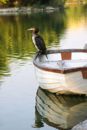 palmate: Cormorant perched on fishing boat. Cormorant on the lake.