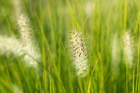 fluffy: Tall fluffy grass. Green bristlegrass.
