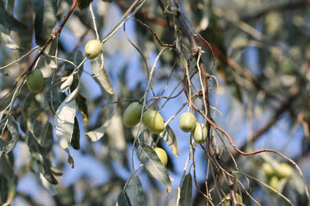 mediterranean countries: Jujube fruits ripened on the tree. Jujube, fruit tree of Mediterranean Countries. Jujube fruits ripened on the tree. Stock Photo