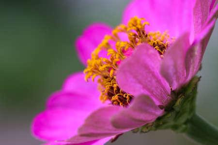 花びら: Pink flower petals, macro on flower.