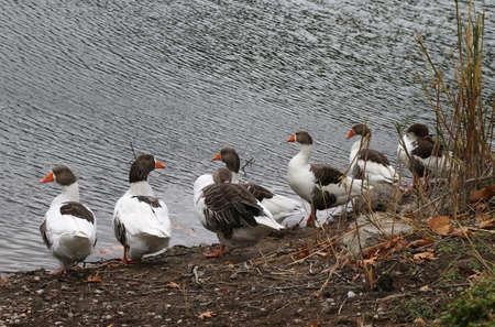 cackle: Group of goose near the lake. Pack of gooses. Stock Photo