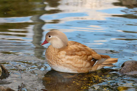 migrate: Duck on the water. Swimming duck.