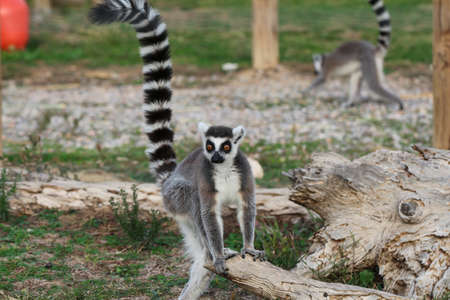 ring tailed: Ring tailed lemur. Animals in the zoo. Lemur.
