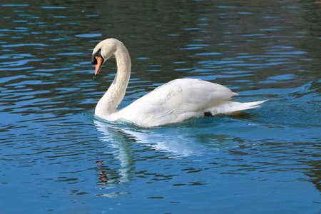 black swan: Beautiful white swan with orange beak on a water. Swan swimming in the lake.