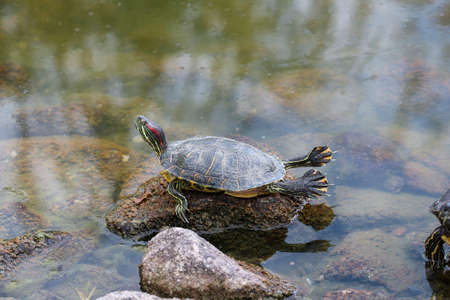 sleeping pad: Turtle on the stone in lake. Gymnast turtle.