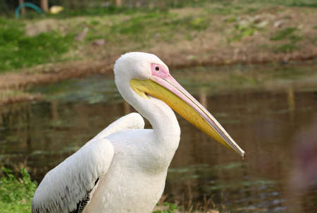 onocrotalus: Great white pelican Pelecanus onocrotalus also known as the eastern white pelican, rosy or white pelican pelican is a bird in the pelican family.