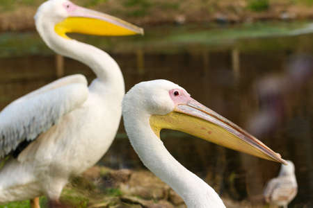 great white pelican: Great white pelican Pelecanus onocrotalus also known as the eastern white pelican, rosy or white pelican pelican is a bird in the pelican family.