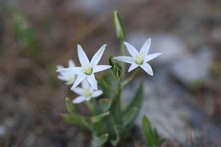 Mooie wilde bloemen in het bos. Witte bloemen, close-up. Stockfoto