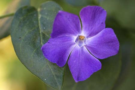 five petals: Top View of Periwinkle purple flower. Stock Photo