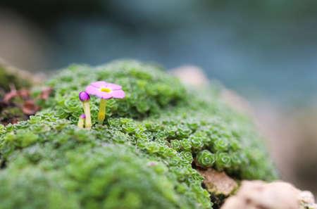 예테보리 식물원에서 Dionysia curviflor. 아름 다운 작은 바위 꽃입니다.