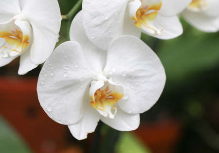 culprit: Branch of white orchids, yet colorful with yellow culprit. Stock Photo