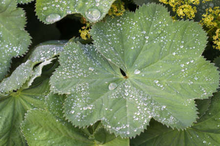 alchemilla mollis: Raindrops on the Leaves of Alchemilla mollis. (Ladys Mantle)