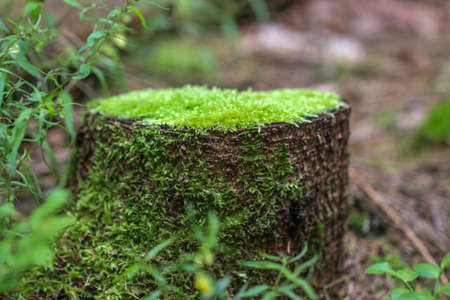 rotting: Rotting tree trunk. The old stump, covered with moss in a forest. Stock Photo