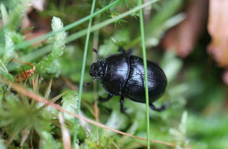 Dung Beetle in forest. Small bloody-nosed beetle (Timarch to goettingensis). Flightless beetle in the family Chrysomelidae, the leaf and seed beetles, found on grassland