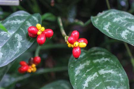 frutti Angiopteris Evect nel giardino botanico.