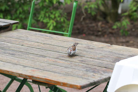 smarter: Sparrow sitting on a wooden table outside a cafe. Stock Photo