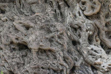 De stam van de 2200 jaar oude olijfboom in Urla, Izmir - Turkije. Zeer oude olijfboom. Textuur van de boomschors.