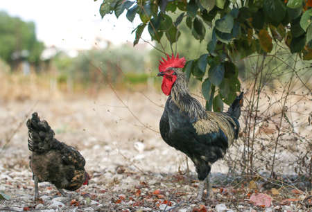 Colorful rooster on green nature background.