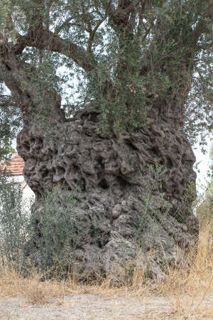 The trunk of 2200 years old olive tree in Urla, Izmir - Turkey. Very old olive tree.