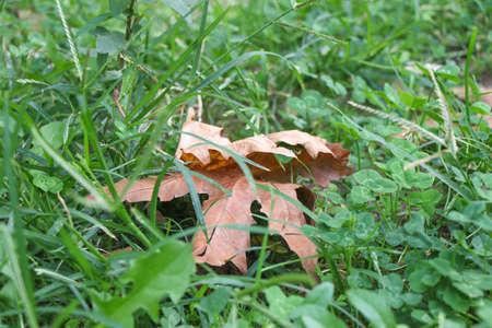 Autumn leaf on green grass. Stock Photo