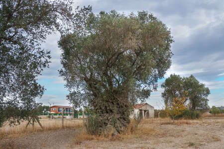 2200 years old olive tree in Urla, Izmir - Turkey. Very old olive tree. Stock Photo
