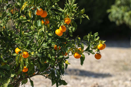 crone: Ripe tangerine fruits on the tree. Fruit garden. Stock Photo