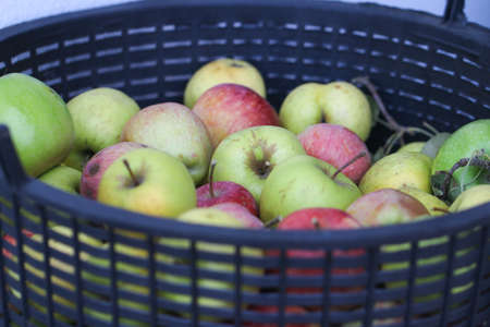 Organic apples in the basket. Harvest time.