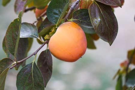 Ripe persimmon fruit hanging on a tree. Fruit garden.