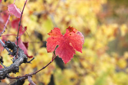 Colorful autumn grape leaves. Vine leaves.