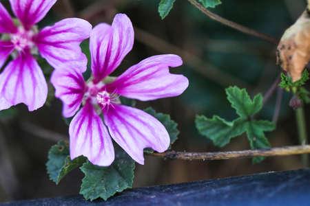 perfumed: Violet Common Mallow flower. Its Latin name is Malva sylvestris.