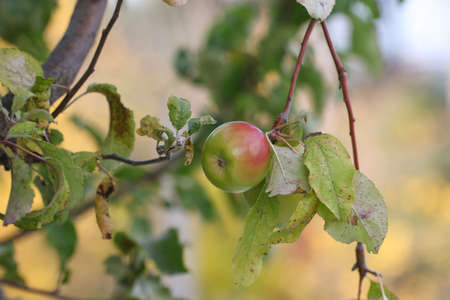 Green apples on a branch ready to be harvested
