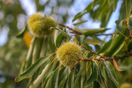 castanea sativa: Chestnut burr. Chestnut (Castanea sativa), fruit of a branch.