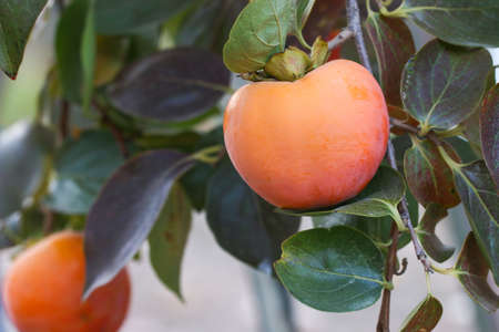 valencia orange: Ripe persimmon fruit hanging on a tree. Fruit garden.