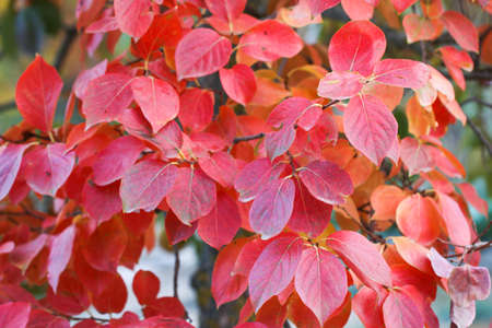 Red autumn leaves. Stock Photo