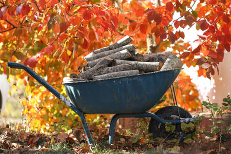 pushcart: Firewood lies in a wheelbarrow, ready for a fire. Colorful autumn garden. Preparation for the winter.