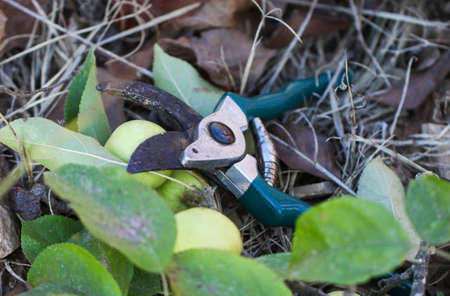 rhyme: Garden secateurs in the garden with apple branches.
