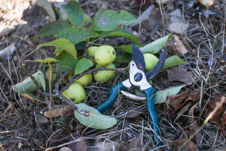 stainles steel: Garden secateurs in the garden with apple branches.
