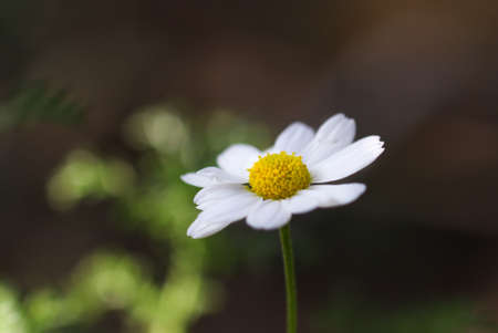 White daisy flower in dark background.