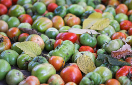 Green and red tomato for pickle.