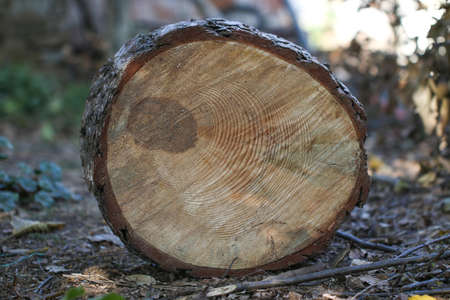 Cut of old trunk. The core of tree consist of growth rings and deep cracks. Stock Photo